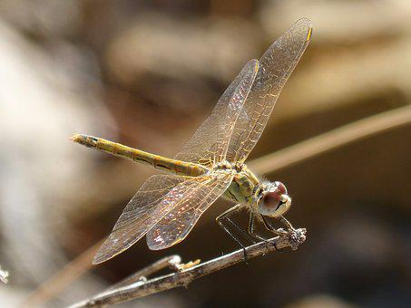 Dragonfly, Iridescent, Translucent Wings, Branch