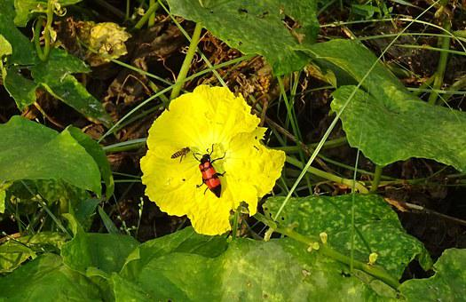 Beetle, Insect, Orange Blister Beetle
