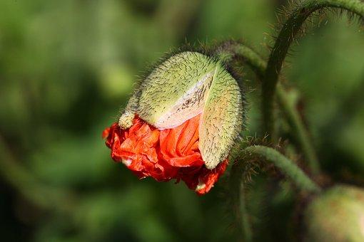 Poppy, Bud, Orange, Iceland Poppy, Blossom, Bloom