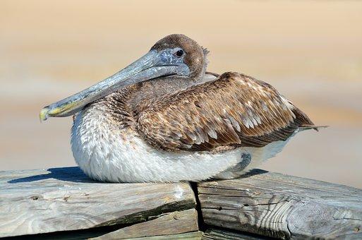 Pelican, Bird, Avian, Resting, Nature, Water, Animal