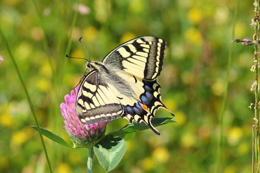 Swallowtail Butterfly, Swallowtail Butterflies
