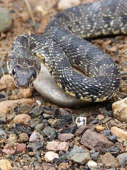 Snake, Threat, Legua Bifida, Culebra De Herradura