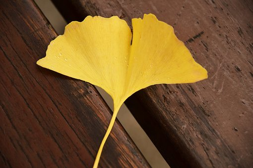 Ginkgo, Ginkgo Leaf, Yellow, Autumn, Welkes Sheet