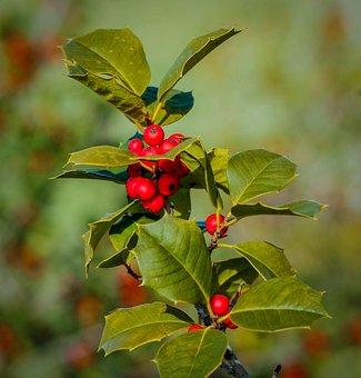 Holly, Ilex, Berries, Drupes, Christmas, Xmas