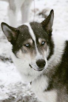 Husky, Sled Dog, Old, Blue Eye, Dog, Snow, Race