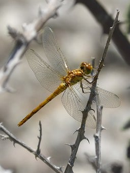 Dragonfly, Golden Dragonfly, Insect, By Side, Detail