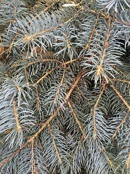 Pine Needles, Fir, Spruce, Evergreen, Christmas, Xmas
