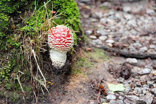 Fly Agaric, Forest, Autumn, Mushrooms, Nature