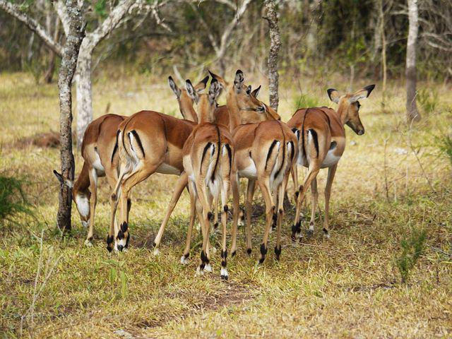 Antelope, From The Rear, Drawing, Uganda, Rear View