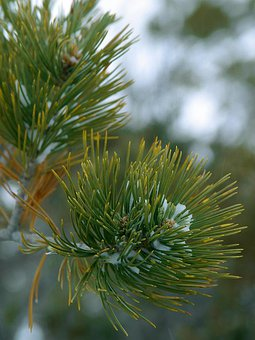 Spruce, Needles, Branch, Winter, Frost, Snow, Cold