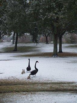Geese, Baby Geese, Baby, Duck, Baby Ducks, Ducklings