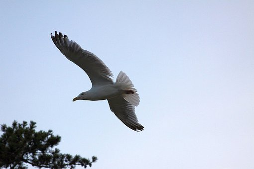 Seagull, Gull, Seagull Flying, Flying Gull, Flying Bird