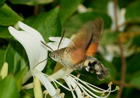 Moth, Hummingbird Hawk-moth, Butterfly, Sphinx, The
