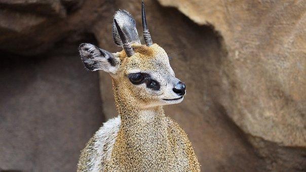 Klipspringer, Antelope, African, Animal, Nature