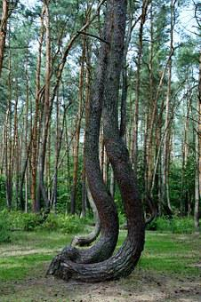 Crooked Forest, Krzywy Las, Forest, Pine, Trees