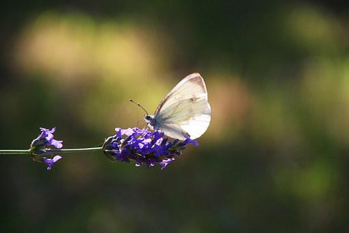 Butterfly, Cabbage, Lavender