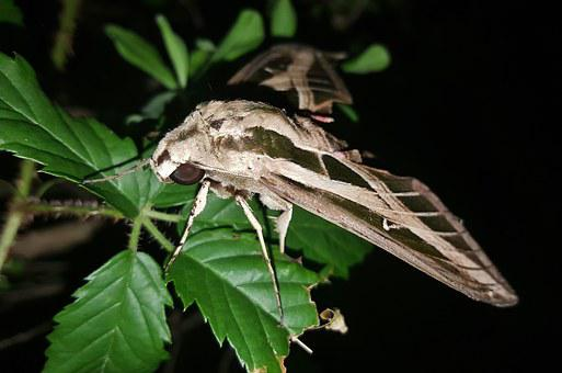 Moth, Sphinx Moth, Banded Sphinx Moth, Insect, Wings