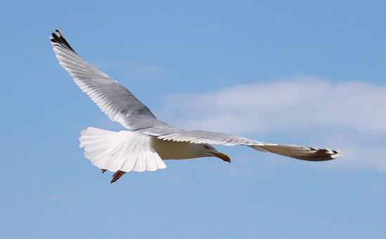 Seagull, Flying, Bird, In Flight, Sky, Nature, Gull