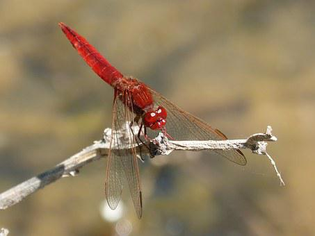 Red Dragonfly, River, Pond, By Side, Detail, Beauty