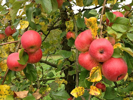 Post Cards Photo, Apple, Autumn, Autumn Colours
