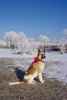 Dog, Akita, Shepard, Red, Bow, Christmas, Winter