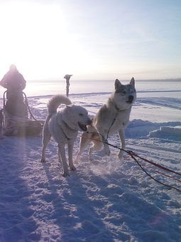Siberian, Husky, Dog, Sledding, Snow, Alaska, Animal