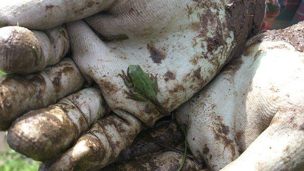 The Frog, Small, Green Frog