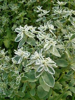 Snow-on-the-mountain, Euphorbiaceae, Euphorbia