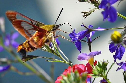 Hummingbird Sphinx Moth, Butterfly, Summer Flowers