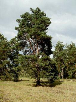 Pinus, Sylvestris, Pine, Tree, Nature, Landscape, Plant