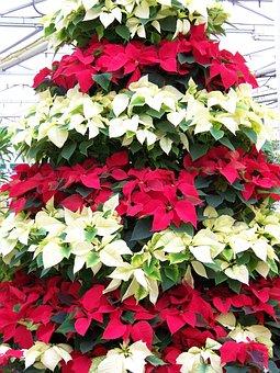 Poinsettias, Red, White, Flowers, Christmas, Tree, Xmas