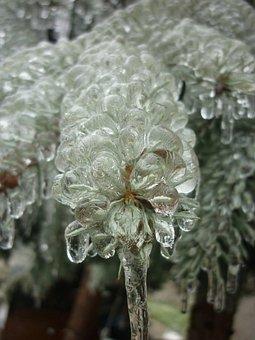 Ice, Pine-needle, Nature, Frozen, Winter, Pine Wood