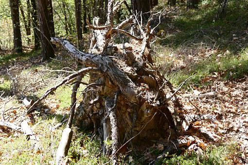 Root, Tree, Tree Root, Wood, Nature, Forest, Rots