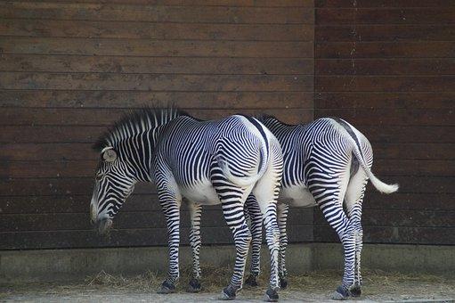 Zebras, Stall, Hoofed Animals, Perissodactyla, White