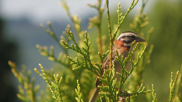 Hacksaw, Bird, Zonotrichia Capensis