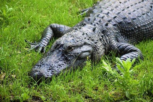 American Alligator, Gator, Swamp, Everglades, Predator