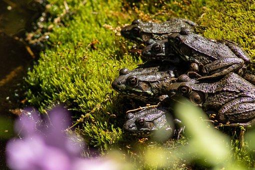 Frogs, Amphibians, Toads, Animal, Wildlife, Wild, Slimy