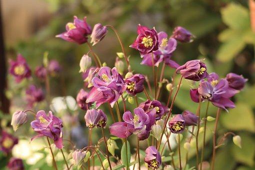 Flowers, Plants, Aquilegia, Columbines, Bloom, Blossom