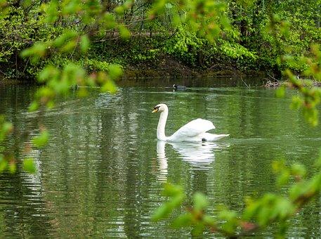 Swan, Bird, Waterfowl, Water Bird, Feathers, White Swan