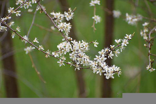 White Hawthorn Spring Plant, Blossom