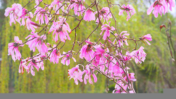 Magnolia, Pink, Flowers, Branches, Tree, Pink Flowers