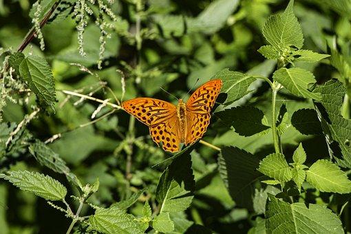 Butterfly, Orange Butterfly, Leaves, Green Leaves