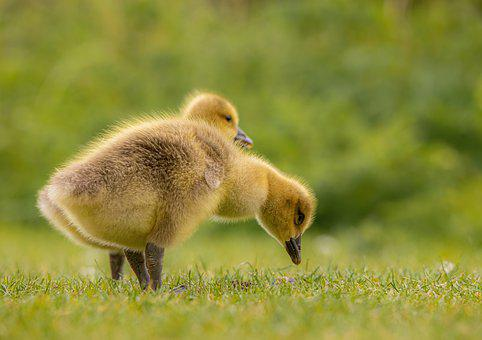 Geese, Goslings, Birds, Chicks, Young Birds, Waterfowls