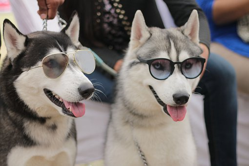 Huskies, Dogs, Sunglasses, Shades, Cute, Spectacles