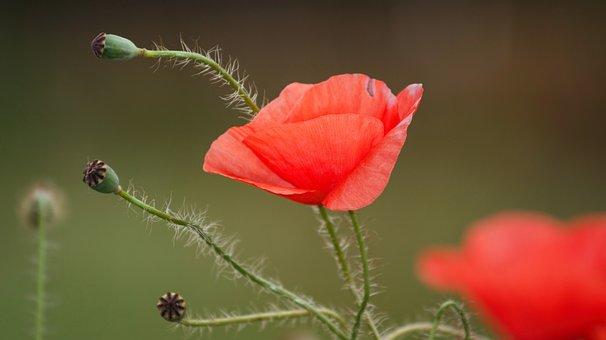 Poppies, Plant, Flower