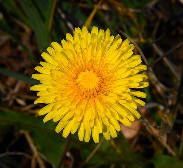 Dandelion, Yellow, Flower, Spring, Spring Flower