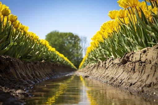 Tulips, Plants, Dike, Flowers, Yellow Tulips