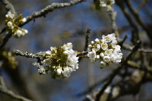 Cherry Blossom, Garden, Spring, Branch, White, Fruit