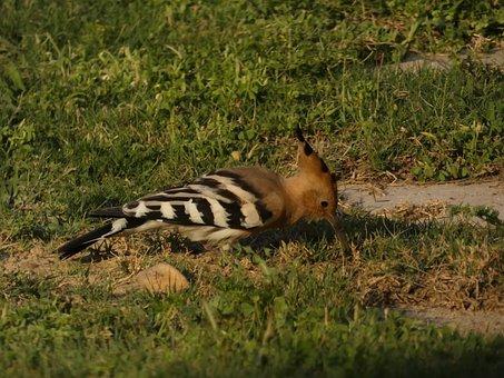 Hoopoe, Bird, Grass, Animal, Nature, Feathers, Wildlife