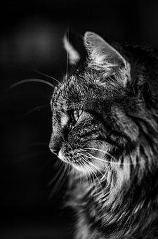 Cat, Black And White, Portrait, Animal, Mammal, Feline